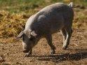 Dieses Motiv ist am 25.08.2019 neu in die Kategorie Schweine aufgenommen worden.