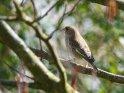 Weiblicher Grünfink