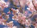 Dieses Motiv wurde am 17. Mai 2021 in die Kategorie Kirschblüten eingefügt.