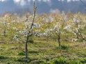 Dieses Motiv ist am 04.06.2020 neu in die Kategorie Kirschblüten aufgenommen worden.
