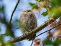 Junger Waldkauz    Dieses Motiv ist am 25.04.2019 neu in die Kategorie Tierische Frühlingsfotos aufgenommen worden.