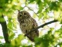 Waldkauz    Dieses Motiv ist am 07.07.2020 neu in die Kategorie Vögel aufgenommen worden.