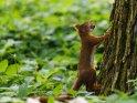Dieses Motiv ist am 17.09.2019 neu in die Kategorie Eichhörnchen und andere Hörnchen aufgenommen worden.