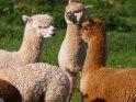 Alpakas    Dieses Motiv ist am 22.08.2019 neu in die Kategorie Alpakas & Kamele aufgenommen worden.