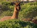 Alpaka    Dieses Motiv ist am 19.05.2019 neu in die Kategorie Alpakas & Kamele aufgenommen worden.