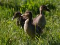 Dieses Motiv ist am 01.06.2020 neu in die Kategorie Enten, Gänse & Hühner aufgenommen worden.