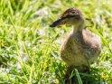 Dieses Motiv befindet sich seit dem 29. April 2020 in der Kategorie Enten, Gänse & Hühner.