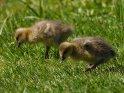 Dieses Motiv ist am 26.05.2020 neu in die Kategorie Enten, Gänse & Hühner aufgenommen worden.