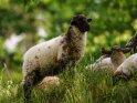 Dieses Motiv ist am 23.09.2019 neu in die Kategorie Lämmer und Schafe aufgenommen worden.
