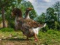 Dieses Motiv ist am 08.09.2020 neu in die Kategorie Enten, Gänse & Hühner aufgenommen worden.