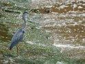 Dieses Motiv ist am 19.01.2020 neu in die Kategorie Vögel aufgenommen worden.