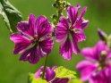 Malve    Dieses Motiv ist am 14.05.2021 neu in die Kategorie Weitere Blumen aufgenommen worden.