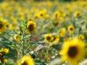 Dieses Motiv ist am 22.07.2019 neu in die Kategorie Sonnenblumen aufgenommen worden.