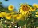 Dieses Motiv ist am 10.09.2019 neu in die Kategorie Sonnenblumen aufgenommen worden.