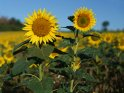 Dieses Motiv ist am 01.10.2019 neu in die Kategorie Sonnenblumen aufgenommen worden.