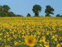 Dieses Motiv finden Sie seit dem 30. Juli 2019 in der Kategorie Sonnenblumen.