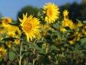 Dieses Motiv ist am 23.08.2019 neu in die Kategorie Sonnenblumen aufgenommen worden.