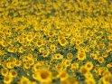 Dieses Motiv finden Sie seit dem 29. September 2019 in der Kategorie Sonnenblumen.