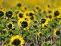 Dieses Motiv finden Sie seit dem 27. August 2019 in der Kategorie Sonnenblumen.