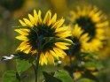 Dieses Motiv ist am 19.08.2019 neu in die Kategorie Sonnenblumen aufgenommen worden.