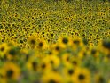 Dieses Motiv ist am 23.09.2019 neu in die Kategorie Sonnenblumen aufgenommen worden.