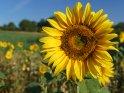 Dieses Motiv ist am 21.08.2019 neu in die Kategorie Sonnenblumen aufgenommen worden.
