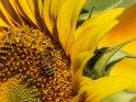 Dieses Motiv wurde am 01. August 2019 in die Kategorie Sonnenblumen eingefügt.