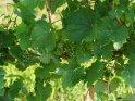 Rebstock    Dieses Motiv gibt es auf CoolPhotos.de seit dem 29. Juli 2019. Sie finden es in der Kategorie Wein und Weintrauben.