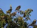 Stare auf einem Zwetschgenbaum    Dieses Motiv ist am 09.09.2019 neu in die Kategorie Vögel aufgenommen worden.