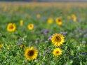 Dieses Kartenmotiv ist seit dem 30. Juli 2020 in der Kategorie Sonnenblumen.