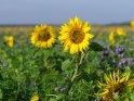 Dieses Motiv ist am 09.09.2020 neu in die Kategorie Sonnenblumen aufgenommen worden.