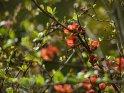 Japanische Zierquitte    Dieses Motiv findet sich seit dem 12. April 2021 in der Kategorie Frühlingsblüten.