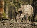 Dieses Motiv ist am 22.02.2021 neu in die Kategorie Wildschweine aufgenommen worden.