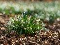 Frühlingsknotenblume, Märzenbecher oder Großes Schneeglöckchen    Dieses Motiv findet sich seit dem 21. März 2021 in der Kategorie Frühlingsblumen.