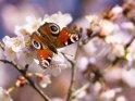 Pfauenauge    Dieses Motiv ist am 18.03.2021 neu in die Kategorie Tierische Frühlingsfotos aufgenommen worden.