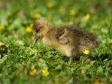 Dieses Motiv ist am 18.03.2021 neu in die Kategorie Enten, Gänse & Hühner aufgenommen worden.
