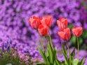Dieses Motiv findet sich seit dem 25. März 2021 in der Kategorie Tulpen.