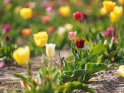 Dieses Motiv wurde am 12. Mai 2020 in die Kategorie Tulpen eingefügt.