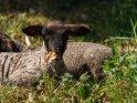 Dieses Motiv ist am 06.05.2020 neu in die Kategorie Lämmer und Schafe aufgenommen worden.