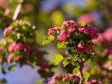 Dieses Motiv ist am 27.05.2020 neu in die Kategorie Frühlingsblüten aufgenommen worden.
