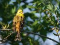 Goldammer    Dieses Motiv ist am 27.05.2020 neu in die Kategorie Vögel aufgenommen worden.