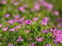 Dieses Motiv ist am 13.07.2020 neu in die Kategorie Weitere Blumen aufgenommen worden.