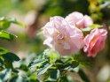 Dieses Motiv ist am 21.10.2020 neu in die Kategorie Rosen aufgenommen worden.