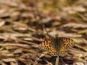 Perlmuttfalter    Dieses Motiv ist am 16.07.2021 neu in die Kategorie Schmetterlinge aufgenommen worden.