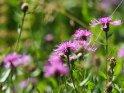 Kornblumen    Dieses Motiv ist am 07.09.2020 neu in die Kategorie Weitere Blumen aufgenommen worden.