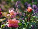 Dieses Motiv ist am 14.01.2021 neu in die Kategorie Rosen aufgenommen worden.