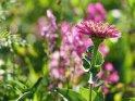 Dieses Motiv ist am 26.07.2021 neu in die Kategorie Weitere Blumen aufgenommen worden.