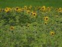 Dieses Motiv ist am 24.10.2021 neu in die Kategorie Sonnenblumen aufgenommen worden.