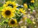 Dieses Motiv ist am 05.08.2020 neu in die Kategorie Sonnenblumen aufgenommen worden.