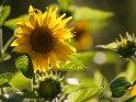 Dieses Motiv ist am 25.09.2020 neu in die Kategorie Sonnenblumen aufgenommen worden.